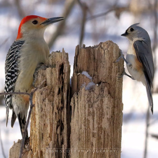 Red-bellied Woodpecker & Tufted Titmouse
