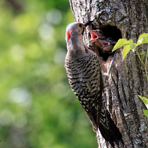Northern Flicker - Yellow Shafted Male and Chicks