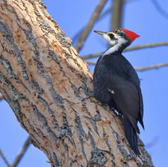 Pileated Woodpecker Female