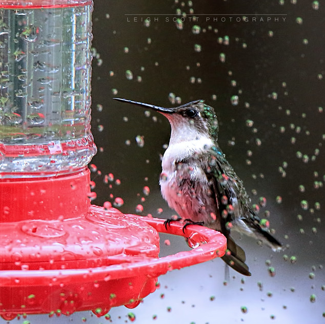 Ruby-throated Hummingbird in the Rain
