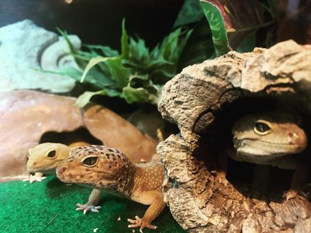 All about Leopard Geckos
