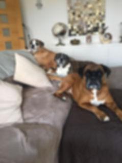 Boxer Dogs .jpg