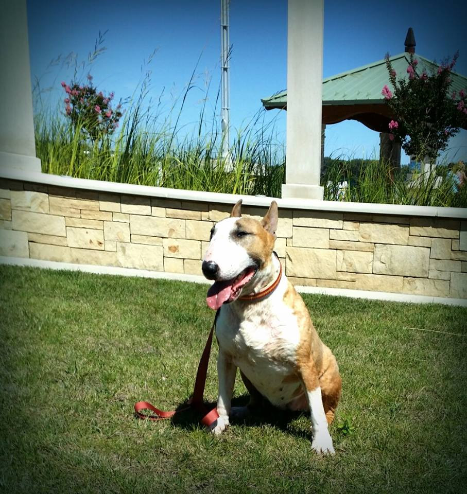 Ellie is a bull terrier who was used for (small scale) breeding and then given away. By the time I got her, she was covered in sores from head to tail, and heartworm positive. She has lung and heart damage as a result, but she is happy now.