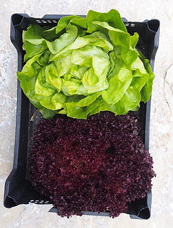 salades bicolores.JPG