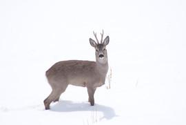 chevreuil neige.JPG