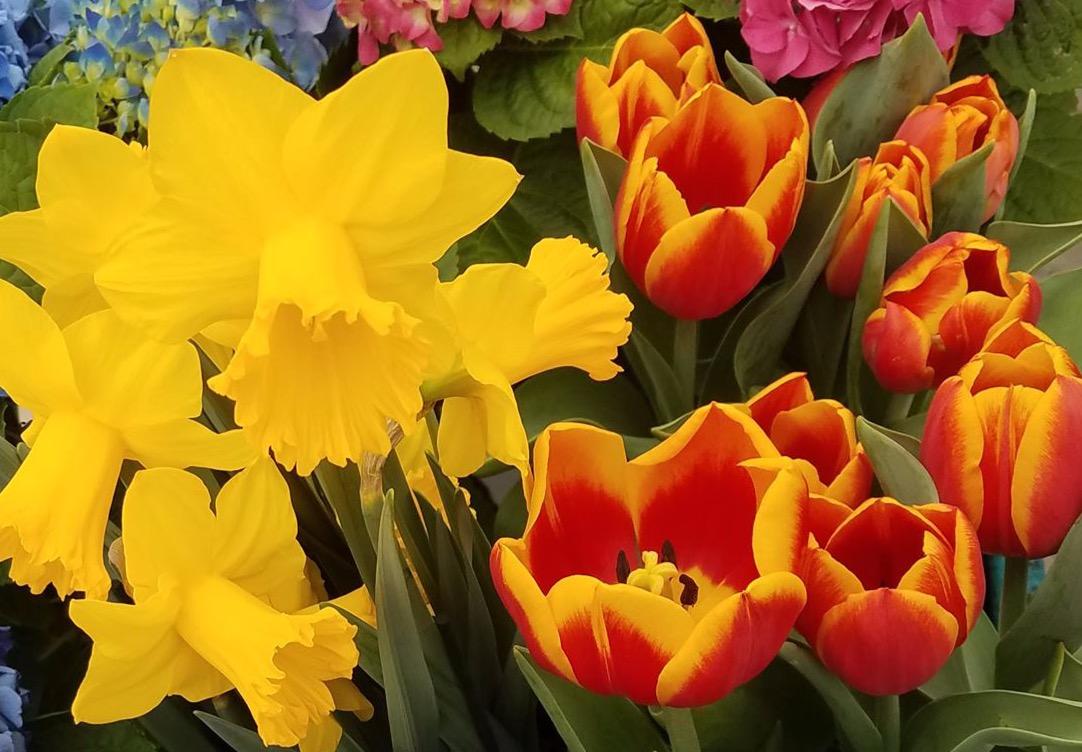 tulip_edited