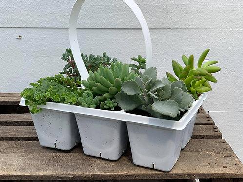 6 pack Succulents