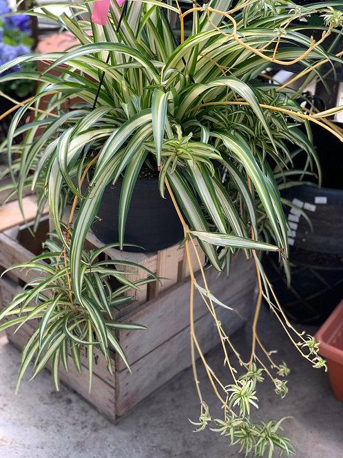 Hanging Indoor Spider Plant