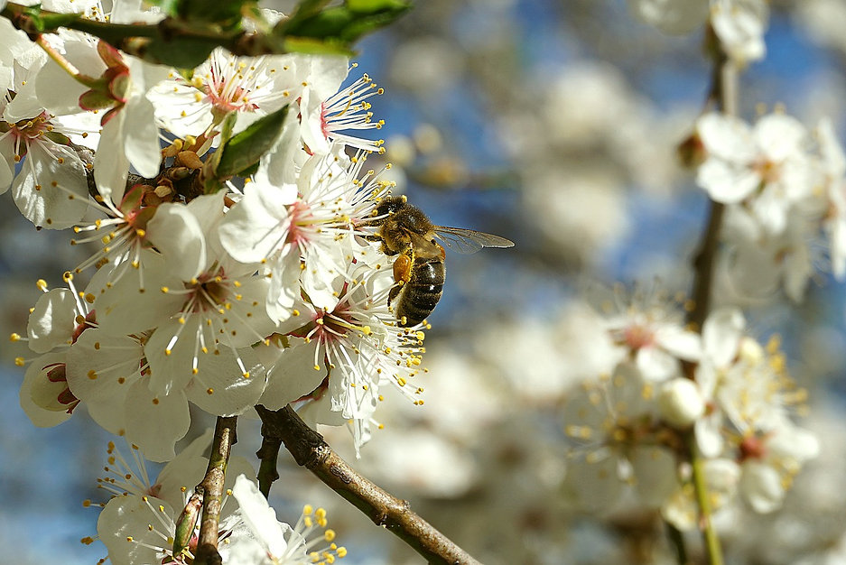 ape sul fiore.jpg