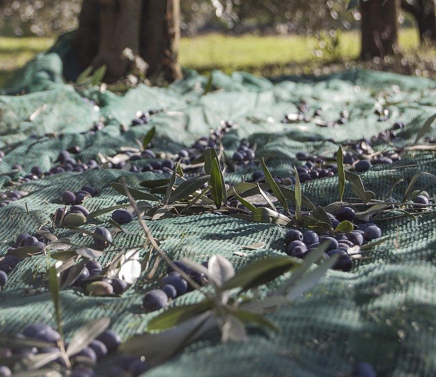 olive nela rete.jpg