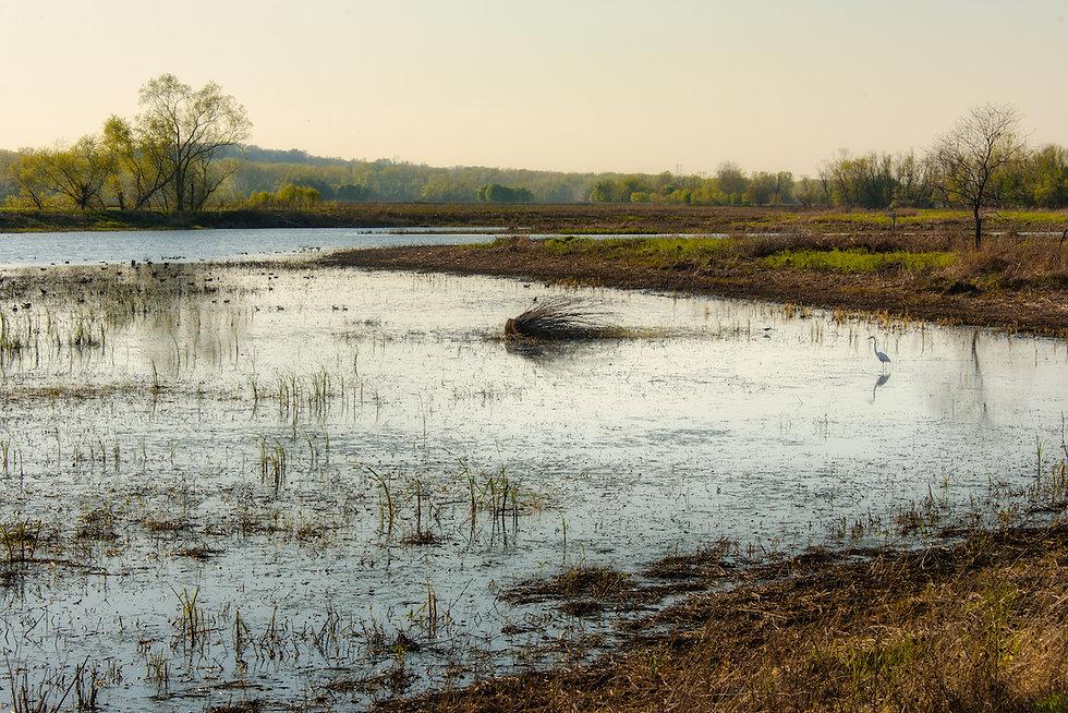 EB egret in pond web.jpg