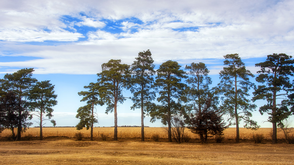 Evergreen Tree Line