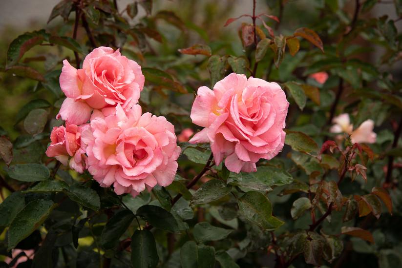 web pink rose.jpeg