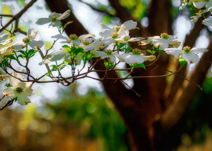 Dogwood Branch.jpg