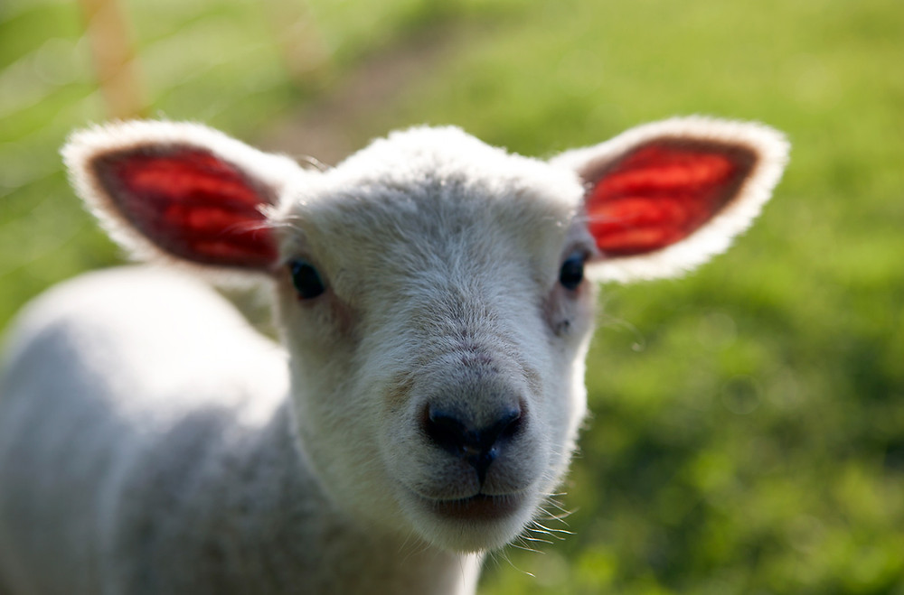 Top of the Woods camping glamping eco holidays Pembrokeshire Wales UK - Spring lamb at Easter