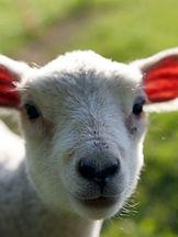 close up of a baby lamb at petting zoo