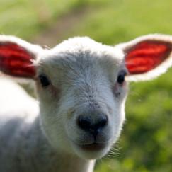 Lamb at farrington's