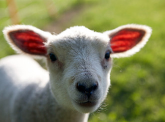 Reflections on the Lunar New Year ~ Year of the Sheep!!