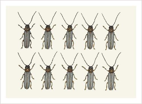 Oberea oculata x 10