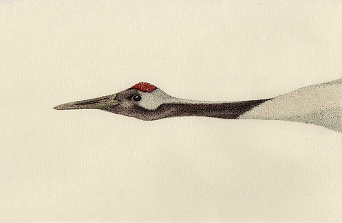 Original A4 pen and watercolour drawning of Grus japonesis - Japanese crane