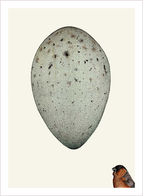 Pyrrhula & egg