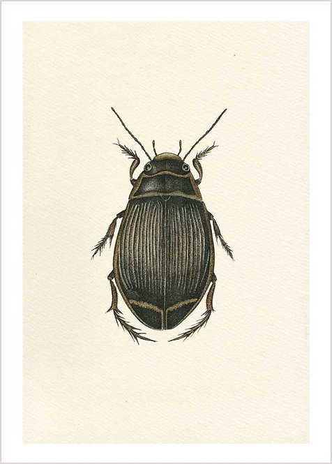 The Great Diving Beetle