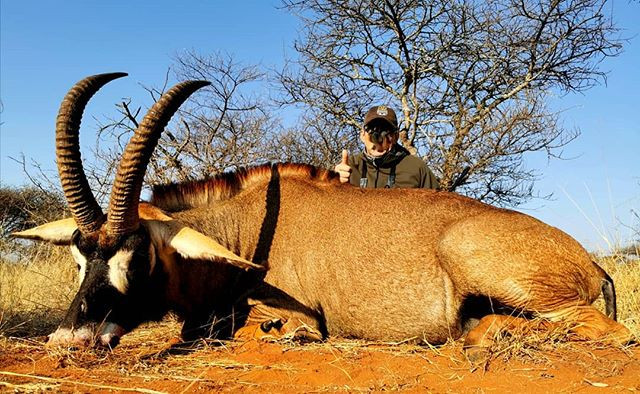 What a magnificent Roan bull for our luc
