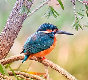 kingfisher-3159334_1920_edited.jpg
