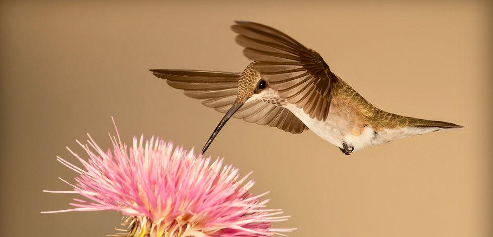 hummingbird-5255832 2.jpg