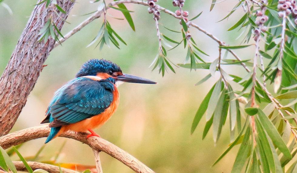 kingfisher-3159334_edited_edited.jpg