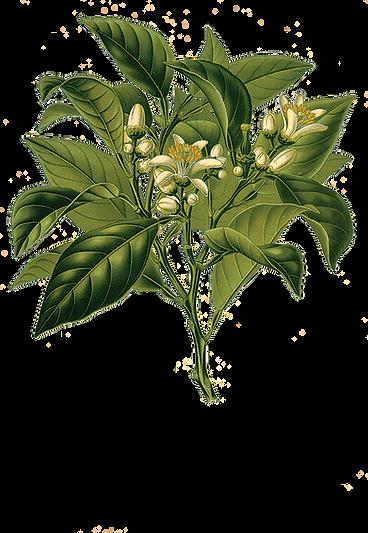 herbin-alchemy-citrus-bergamot-aromather