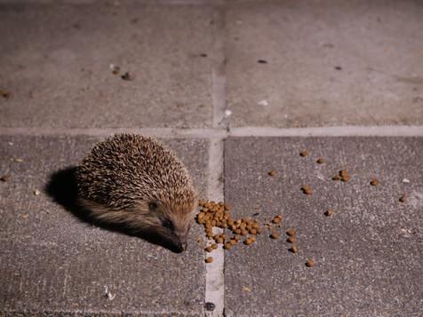 Hedgehog on a patio