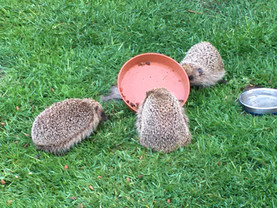 Hedgehogs trying to share