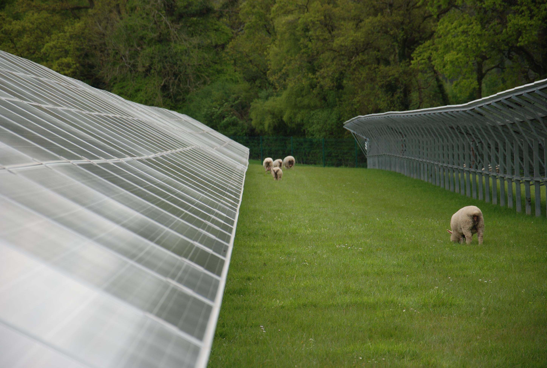 Solar PV plus Sheep iii