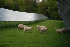 Solar PV plus Sheep v.JPG