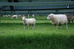 Solar PV plus Sheep iv