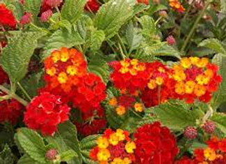 Lantana, trailing - red