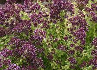 Origanum - Drops of Jupiter