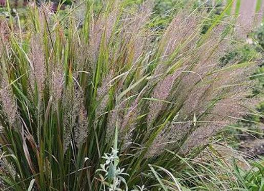 Korean Feather, Reed Grass