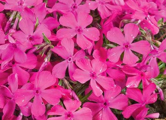 Phlox - 'Drummonds pink'