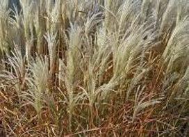Purpurascens, Flame Grass