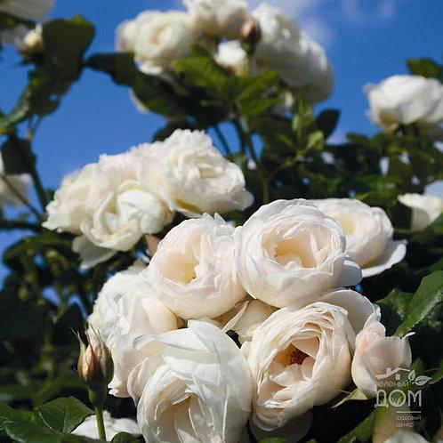 """Роза плетистая  """"Uetersener Klosterrose"""" ( Ютерзенер Клостеррозе)"""