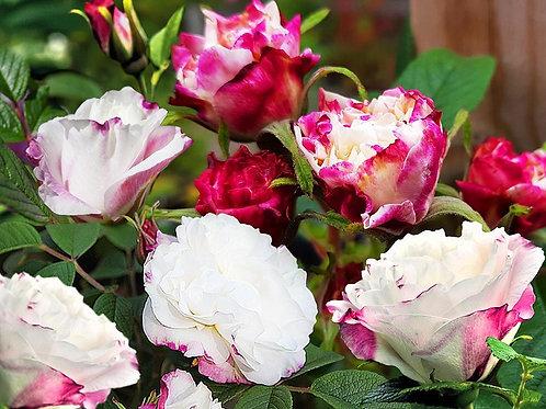 Роза канадская Louise Bugnet (Луиза Багнет).