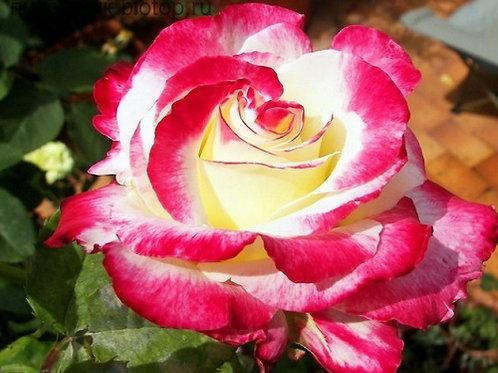 "Роза чайно-гибридная ""Double Delight"" (Дабл Делайт)"