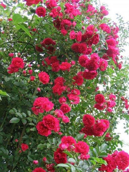 Роза плетистая Decor