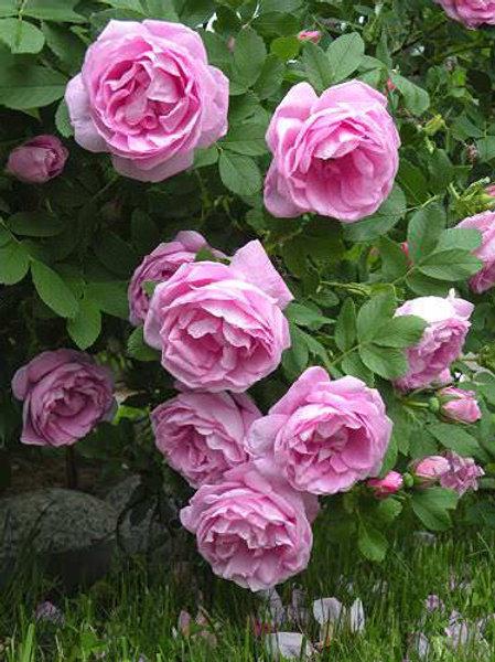Роза канадская Wasagaming (Васагейминг)