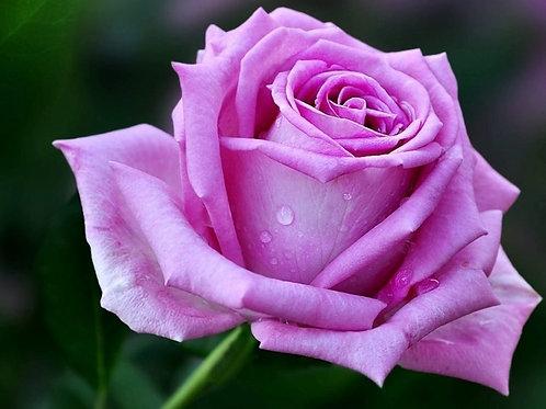 """Роза чайно-гибридная """"Aqua"""" (Аква)"""