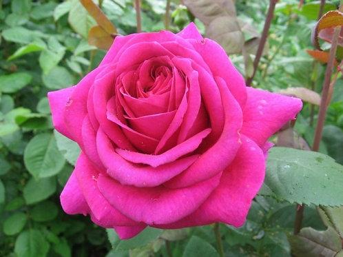 """Роза чайно-гибридная """"Parole"""" (Пароль)"""