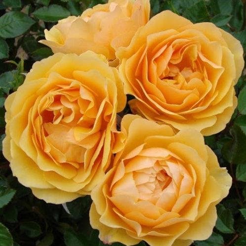 """Роза флорибунда """"Amber Queen""""  (Амбер Куин)"""