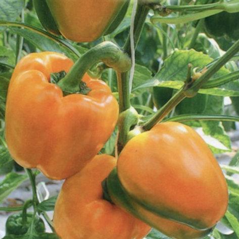 Перец ОранжевоеЧудоF1